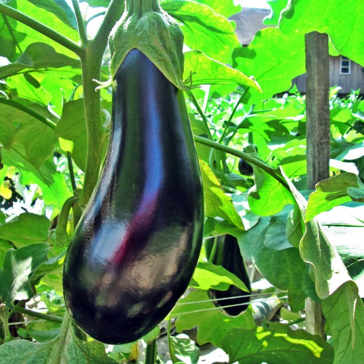 turkish eggplant
