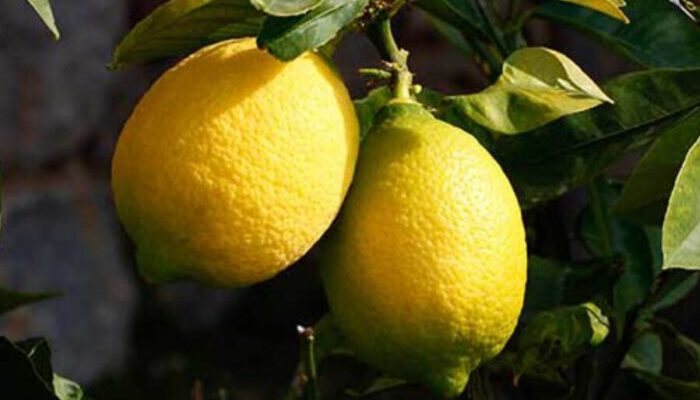 Turkish Lemon