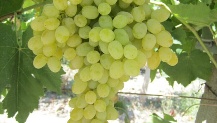 Turkish Grape