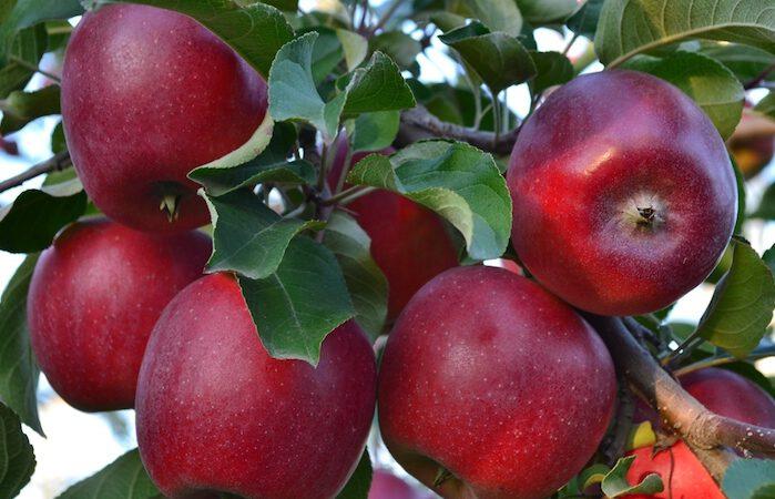 Turkish Apple